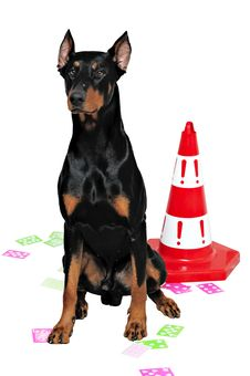 Free Black And Brown Doberman Royalty Free Stock Photography - 13700857