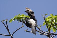 Free Silvery-cheeked Hornbill, Kenya Stock Photography - 13700952