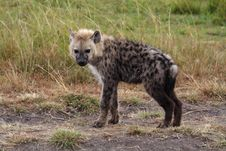 Free Spotted Hyena Young, Kenya Royalty Free Stock Image - 13700966