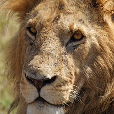 Free Eye-to-eye With Old Lion Male, Kenya Royalty Free Stock Images - 13700979