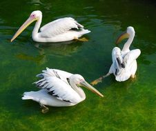 Three White Pelicans Stock Photos