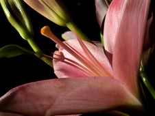 Free Lily Stock Photography - 13702622