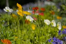 Free Colorful Poppy Flower Garden Stock Images - 13703074