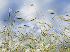Free Corn Field Stock Photo - 13703160