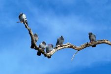 Free Rock Doves On Dead Tree Limb Royalty Free Stock Image - 13703186