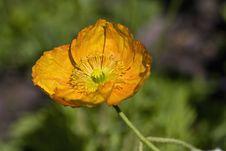 Free Orange Poppy Flower Royalty Free Stock Image - 13703316