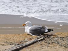 Free Seagull Stock Images - 13703844