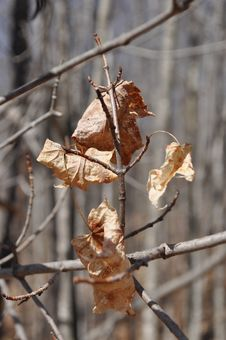 Free Dry Leaves On Branch Royalty Free Stock Images - 13704009