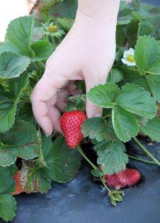 Free Picking Strawberries Stock Image - 13704881
