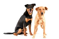 Free Rottweiler And Pinscher Together Royalty Free Stock Image - 13705136