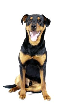 Free Cute Rottweiler Pincher Royalty Free Stock Images - 13705139