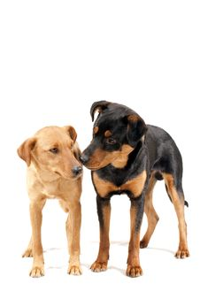 Free Rottweiler And Pinscher Together Royalty Free Stock Photography - 13705147