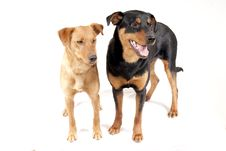 Free Rottweiler And Pinscher Together Stock Photo - 13705160