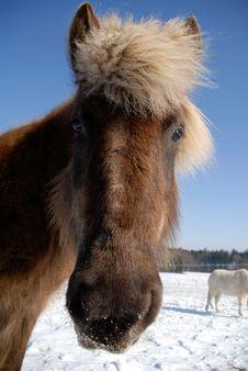 Free Icelandic Horse Stock Images - 13705814
