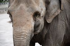 Elephant Closeup Royalty Free Stock Images