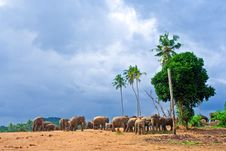 Free Flock Of Elephants In The Wilderness Stock Image - 13706691
