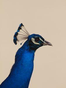 Free Peafowl - Pavo Cristatus Stock Images - 13707034