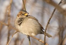 Sparrow On A Twig Royalty Free Stock Photos