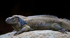 Free Dragon Lizard Royalty Free Stock Image - 13707786