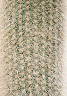 Free Cactus Royalty Free Stock Image - 13707826