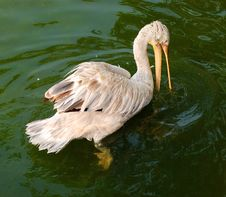 Free Pelican Stock Photography - 13708302
