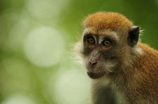Free Curious Macaque Stock Photo - 13708710
