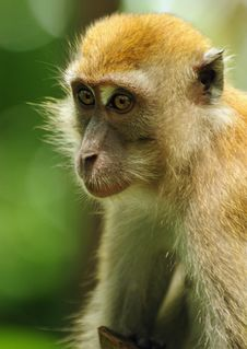 Free Macaque Royalty Free Stock Images - 13708739