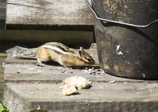 Free Chipmunk Royalty Free Stock Photo - 13709225