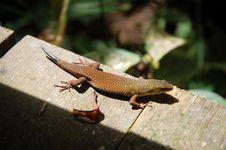 Free Lizard Royalty Free Stock Photo - 13709485