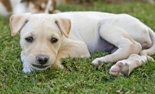 Free Young Puppy Lying In The Garden Stock Photos - 13709583