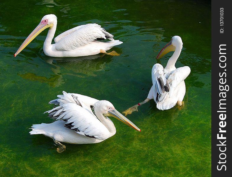 Three white pelicans