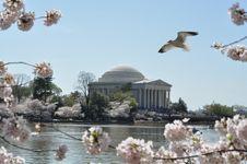 Free Cherry Blossom Stock Image - 13710061