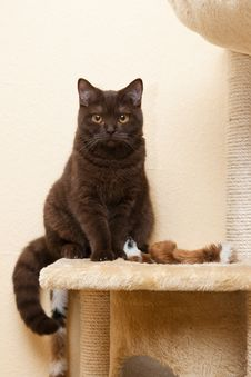 Free Cat British Shorthair Looks Royalty Free Stock Photo - 13711095