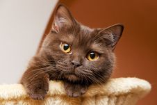 Free British Shorthair Looks Stock Image - 13711101