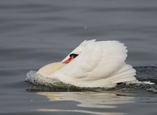Free Mute Swan Stock Photography - 13711572