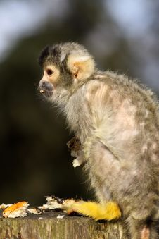 Free Little Baby Black Capped Squirrel Monkey Stock Photography - 13712002