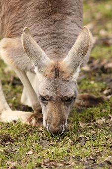 Free Kangaroo Eating Grass Royalty Free Stock Image - 13712046