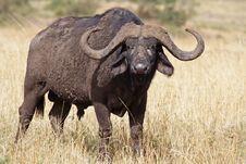 Free Lone African Buffalo Bull, Kenya Stock Image - 13712071