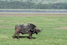 Free African Buffalo In Front Of Flamingo Lake, Kenya Stock Photo - 13712100