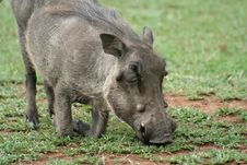 Free Warthog Down On Its Knees Grazing Royalty Free Stock Images - 13712999