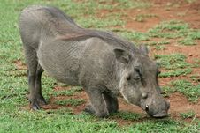 Free Warthog Down On Its Knees Grazing Stock Image - 13713021