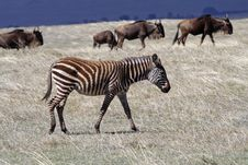 Free Zebra Foal In Thundercloud Light, Ngorongoro Royalty Free Stock Photos - 13713038