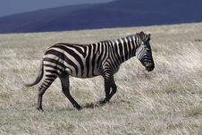 Free Zebra In Thundercloud Light, Ngorongoro Stock Images - 13713054