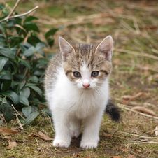 Free Kitten Royalty Free Stock Images - 13713199