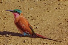 Free Carmine Bee-eater Stock Images - 13713514