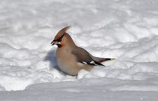 Free Waxwing In Snow Royalty Free Stock Images - 13714609