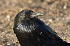 Free Eye Of The Raven Stock Photos - 13714853