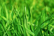 Free Fresh Green Grass Royalty Free Stock Photo - 13714865