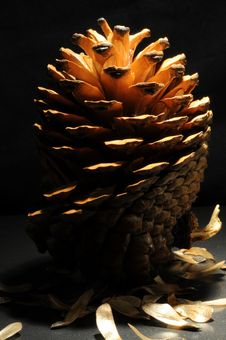 Pine Cone Royalty Free Stock Image