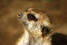 Free Meerkat In Profile Royalty Free Stock Photography - 13715267